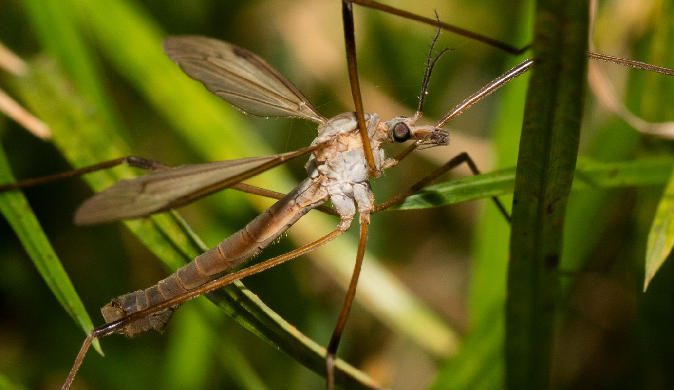 Daddy long legs super close up