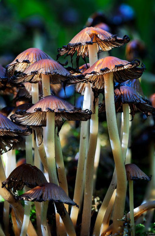 Fungi Incaps