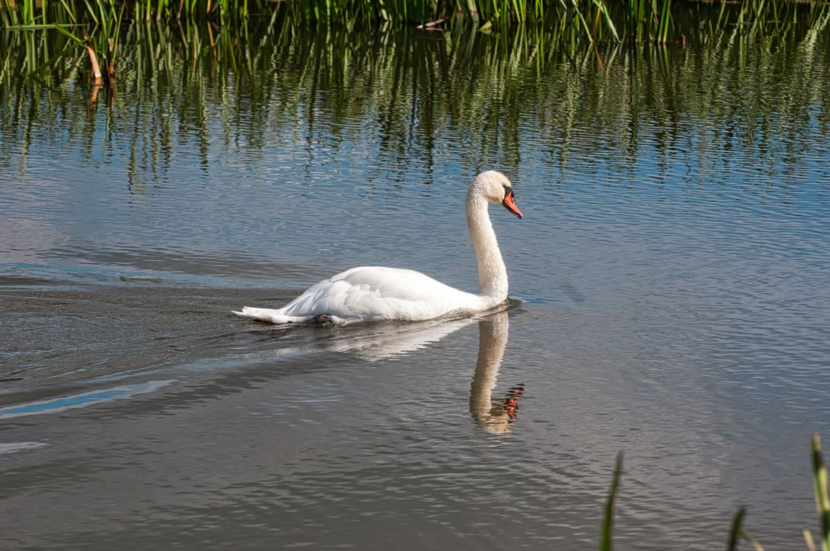 Swan, ripples and reflections