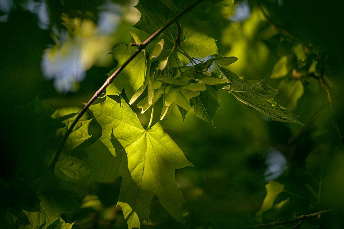 Light on the Leaf - 2