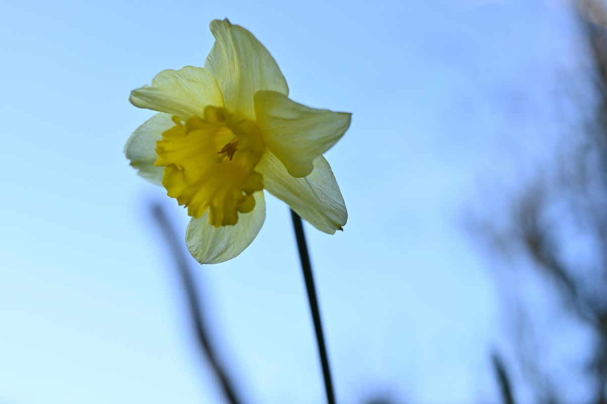 Daffodil - 20200404