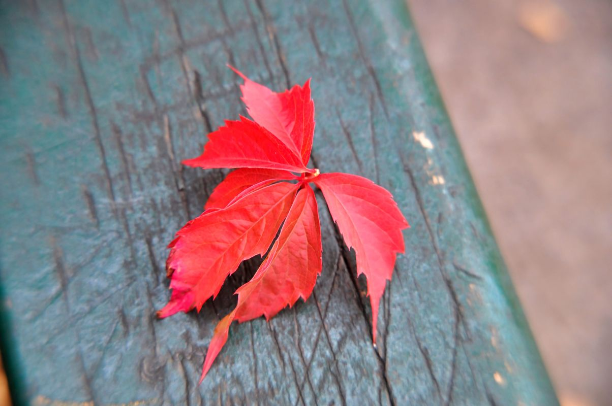Red leaves over wood bench