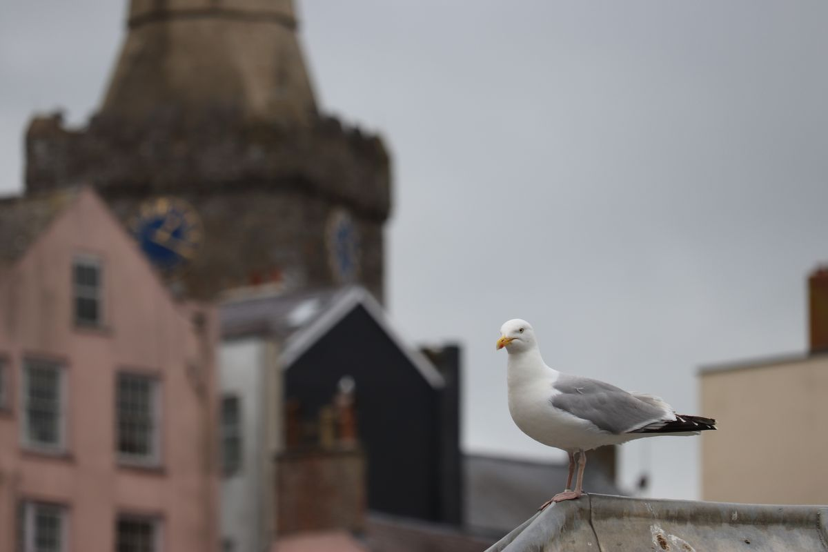 Gull about town