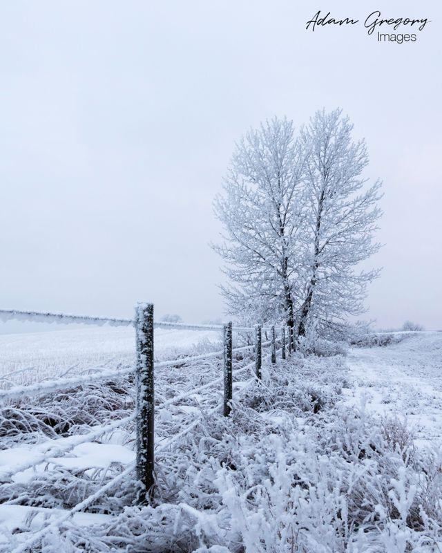 Twin trees in a winter wonderland