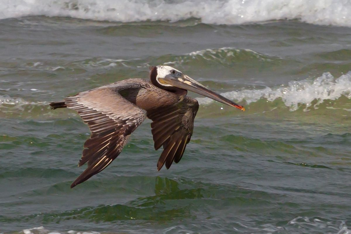 Pelican Gliding Over Pacific Ocean
