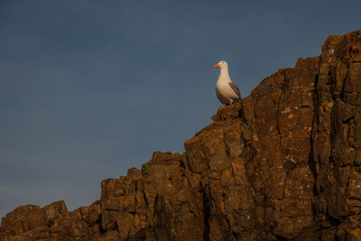 Seagull on Cliff at Sunrise