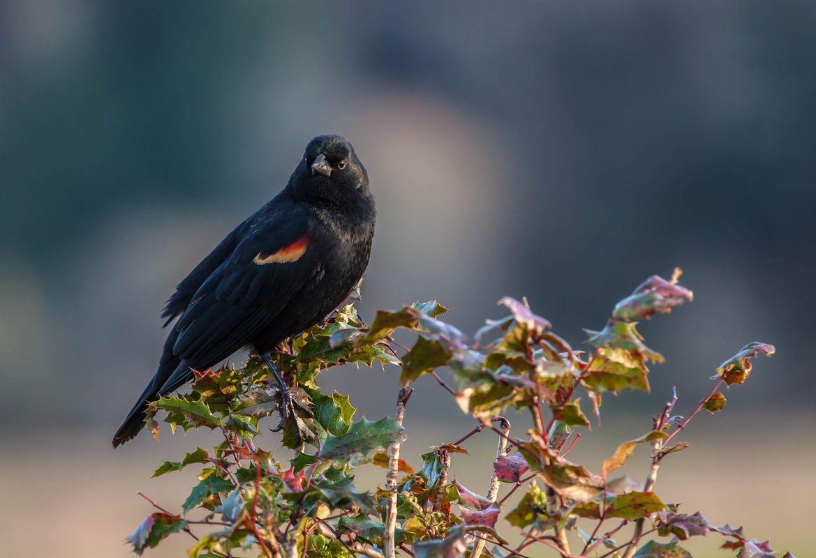 Red Winged Blackbird on Bush