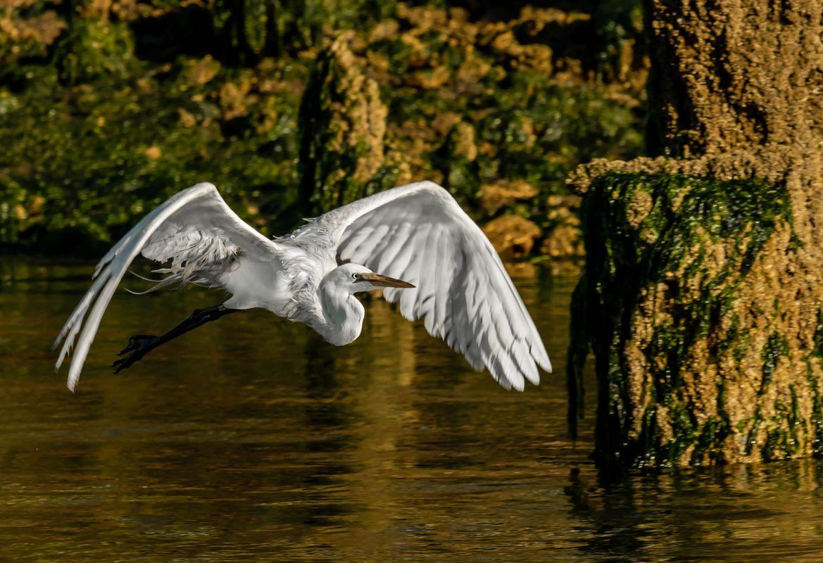 Great Egret Gliding at Sunrise