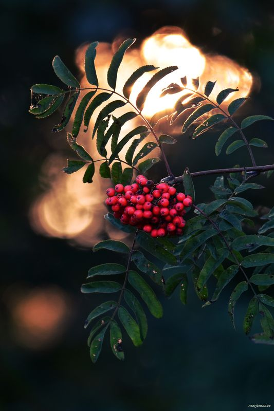Rowan tree in the evening light.