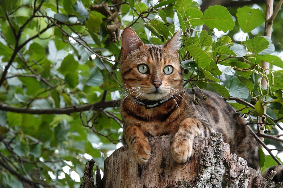 Bengal cat on the three