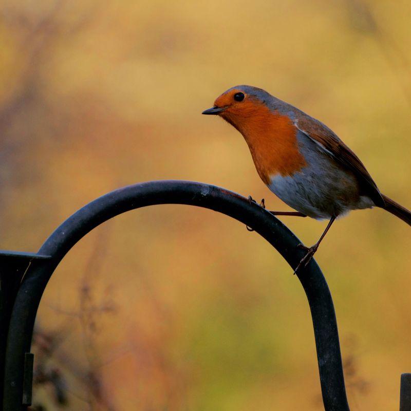 Little Robin Red Beast