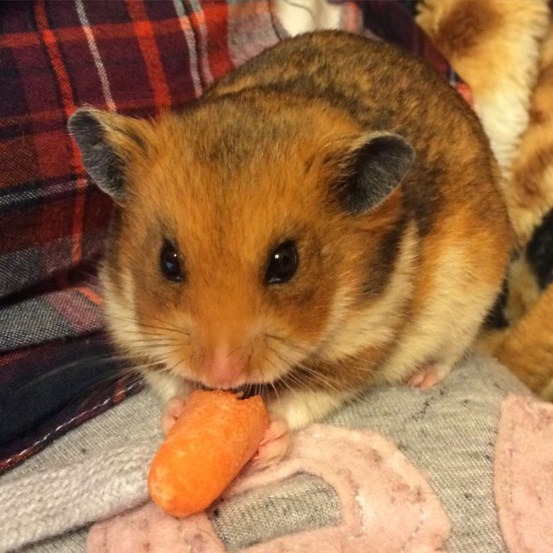 Skittles the Carrot Eating Hamster