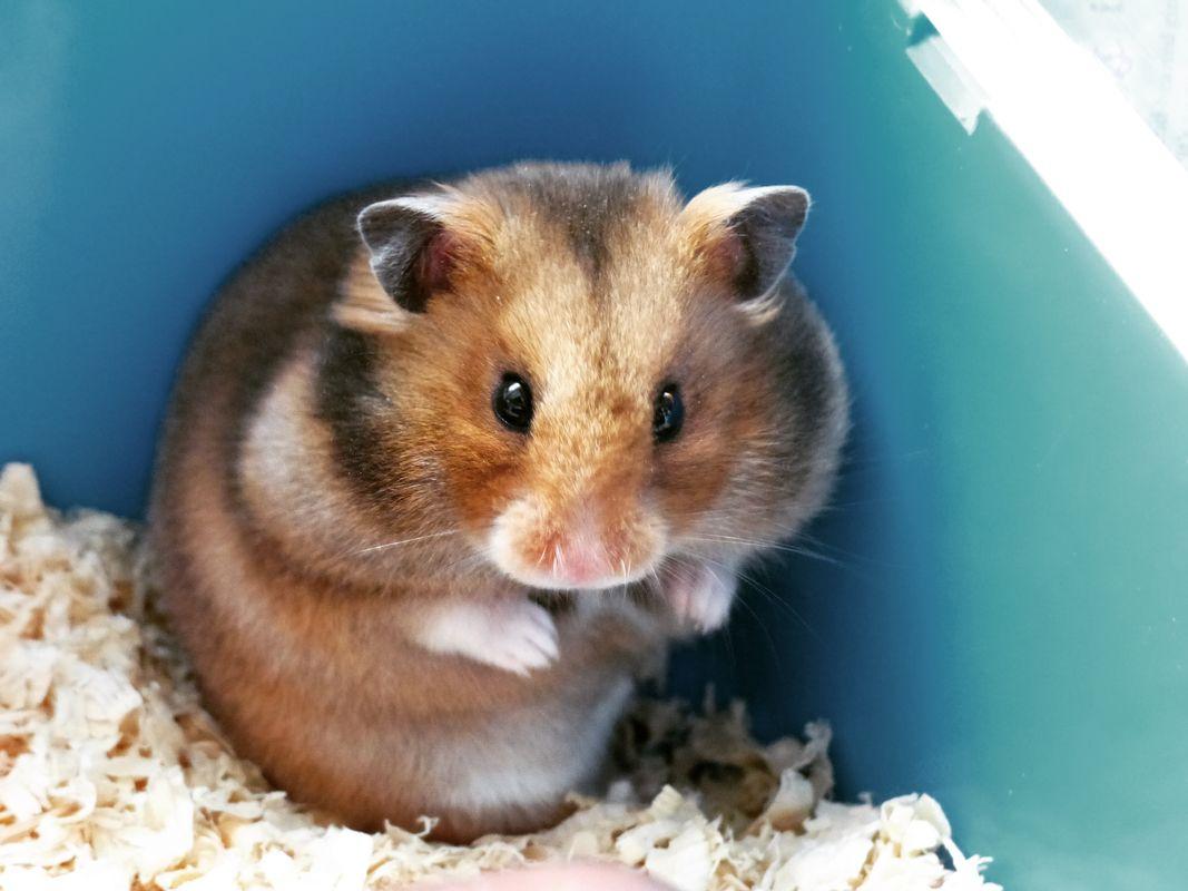 Hugo the Hamster