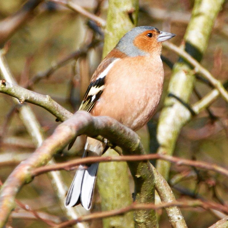 Chaffinch, British Wild Bird