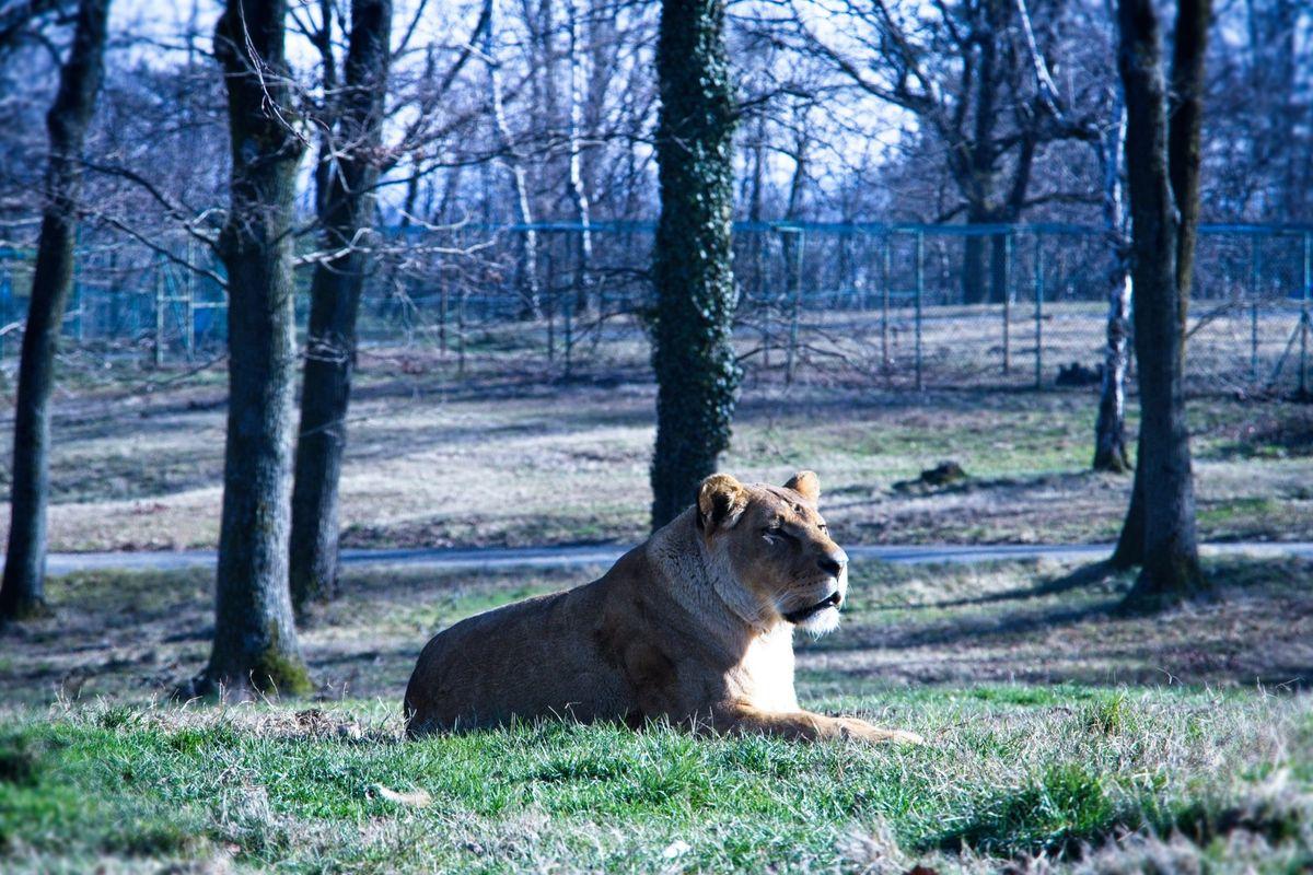 Female Lion at Safari Park