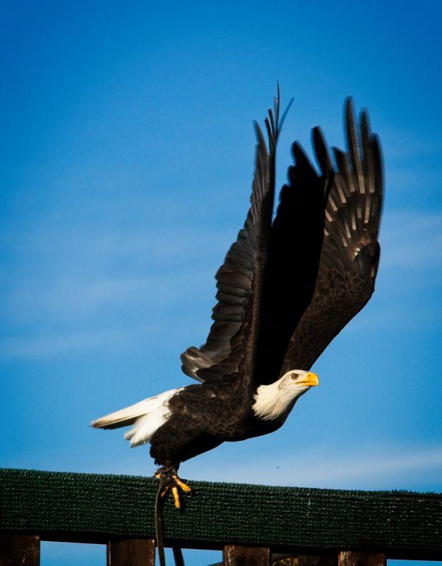 Bald Eagle - Safari Park - Lake Maggiore