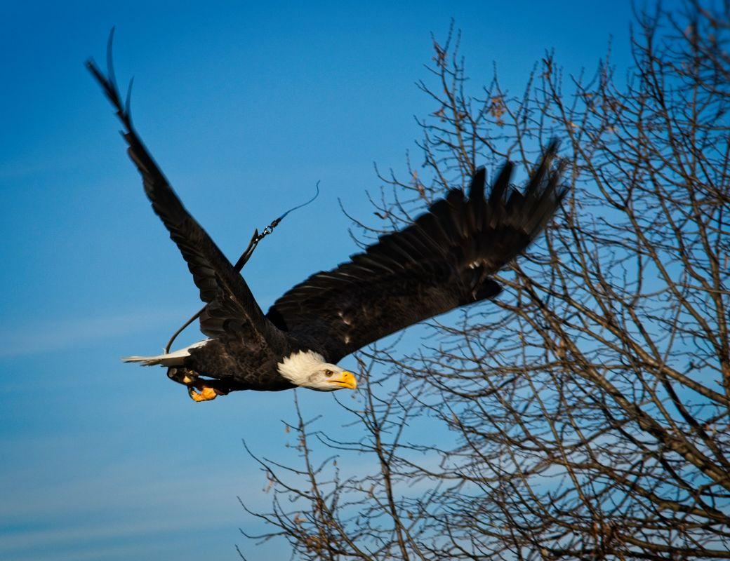 Bald eagle in flight - Safari Park