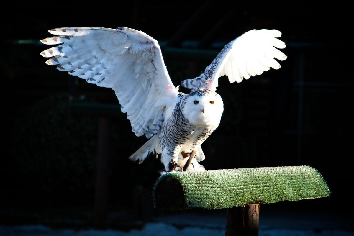 Snow Owl - Falconry show - Safari Park