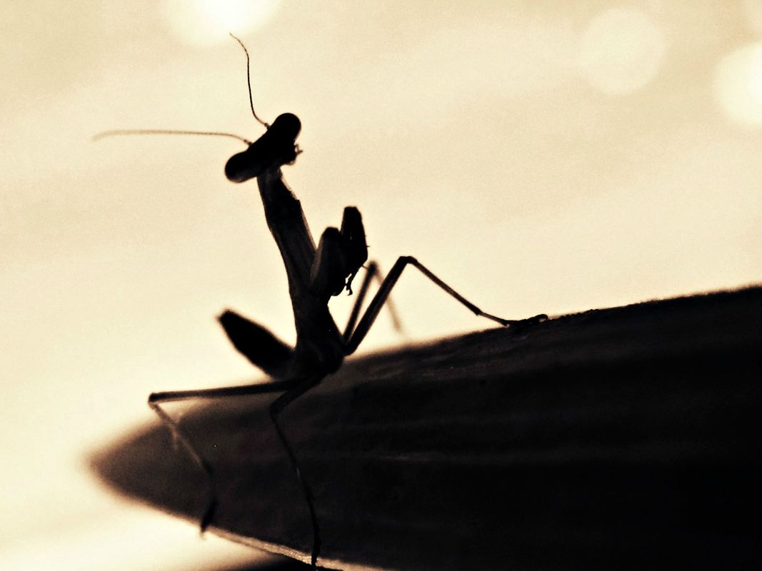 Silhouette of a Mantis
