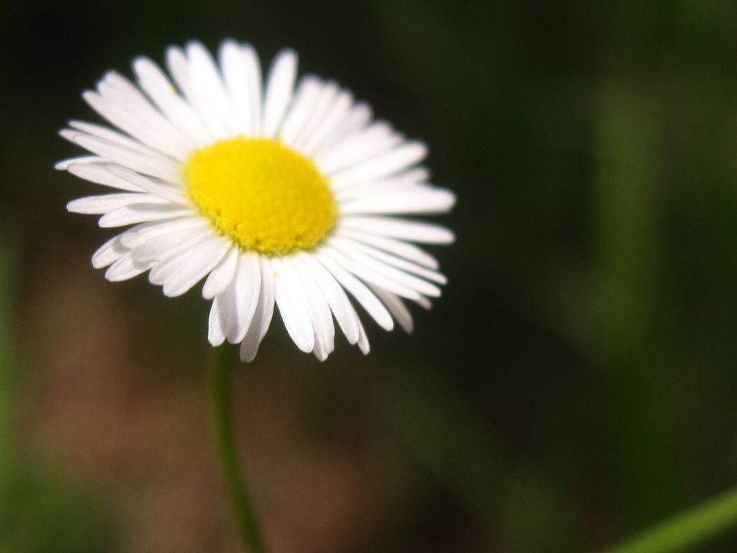 Not a Daisy