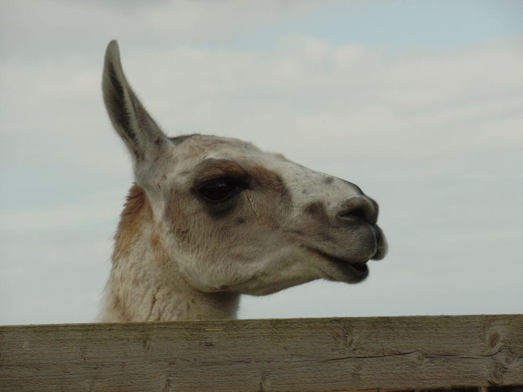 Camel photo 11