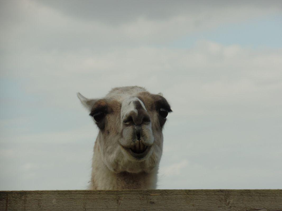 Camel photo 12