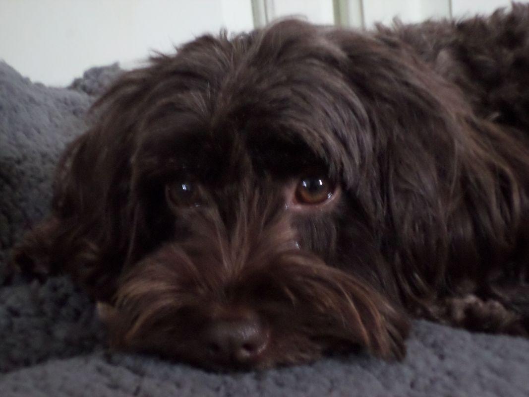Dark Chocolate Cockapoo Dog