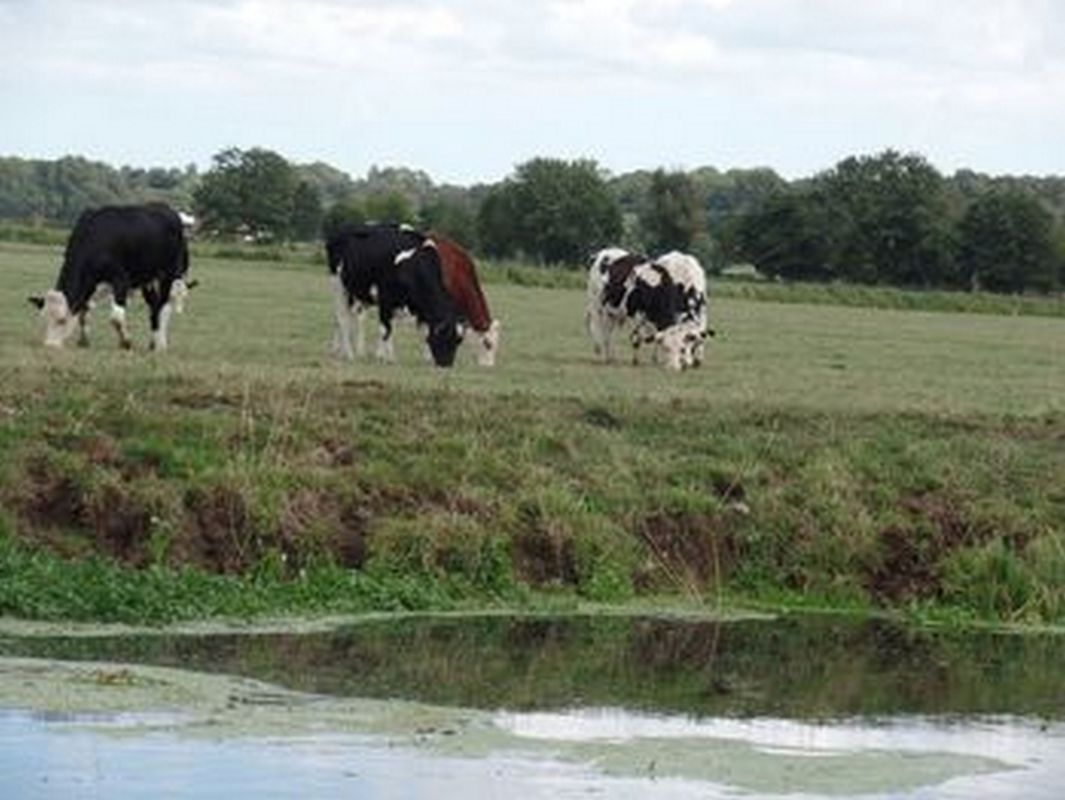 Fresian cattle  next to the river