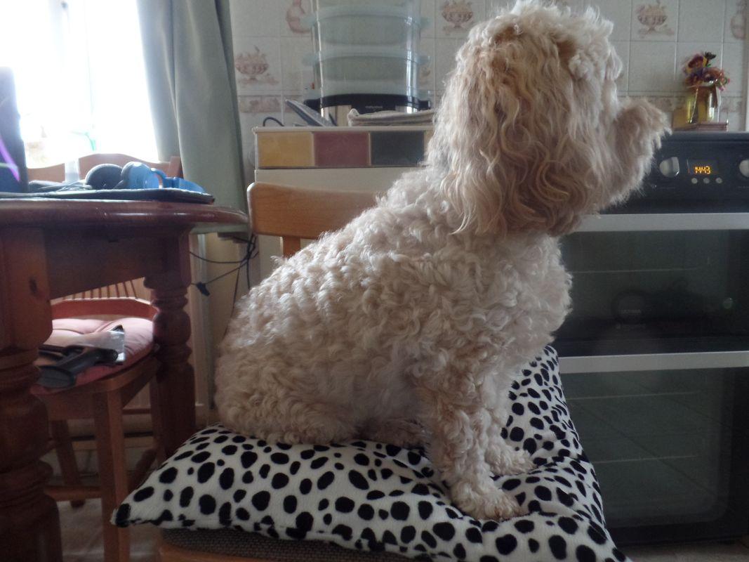 Male cream cockerpoo dog photo b