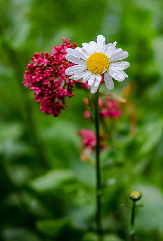 Oxeye daisy with Red Valerian