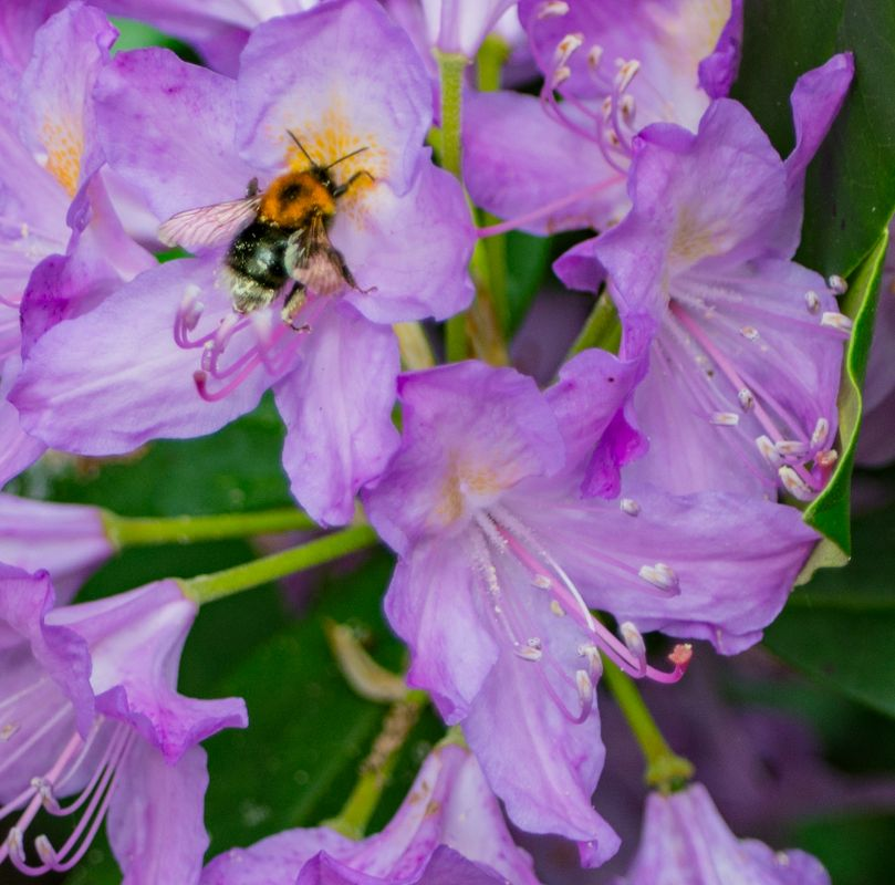 Still hunting down bees...  but oh my!  the rhododendrons are amazing this year....