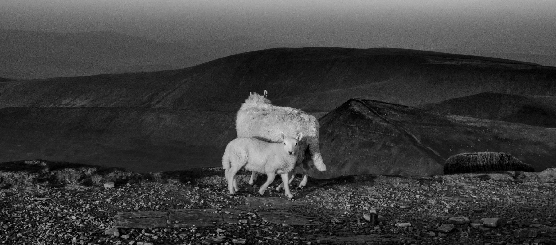 Sheep on Pen y Fan looking for next snack stop