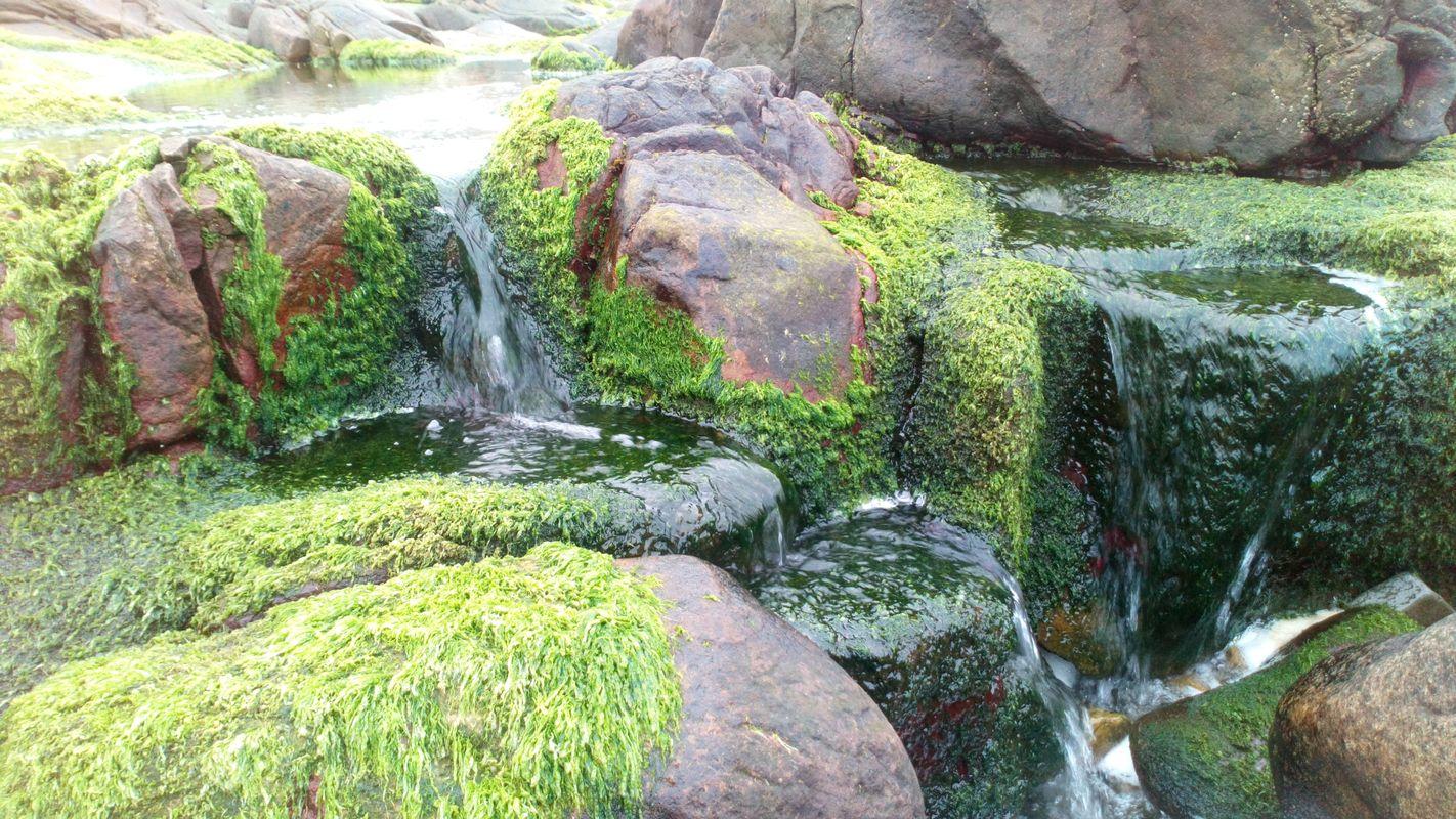 Green Irish Moss Grow In The Rocks Of Creevy Pier Ballyshannon Wild Atlantic Way