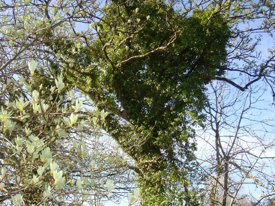 Bare Tree Covered With Climbing Plant Boston Ivy Beside The Wild White Flower