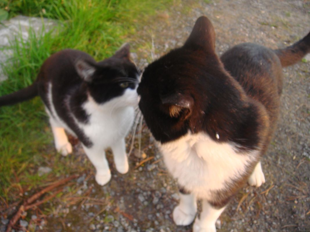 Two Black and White Cats Kissing Lips to Lips