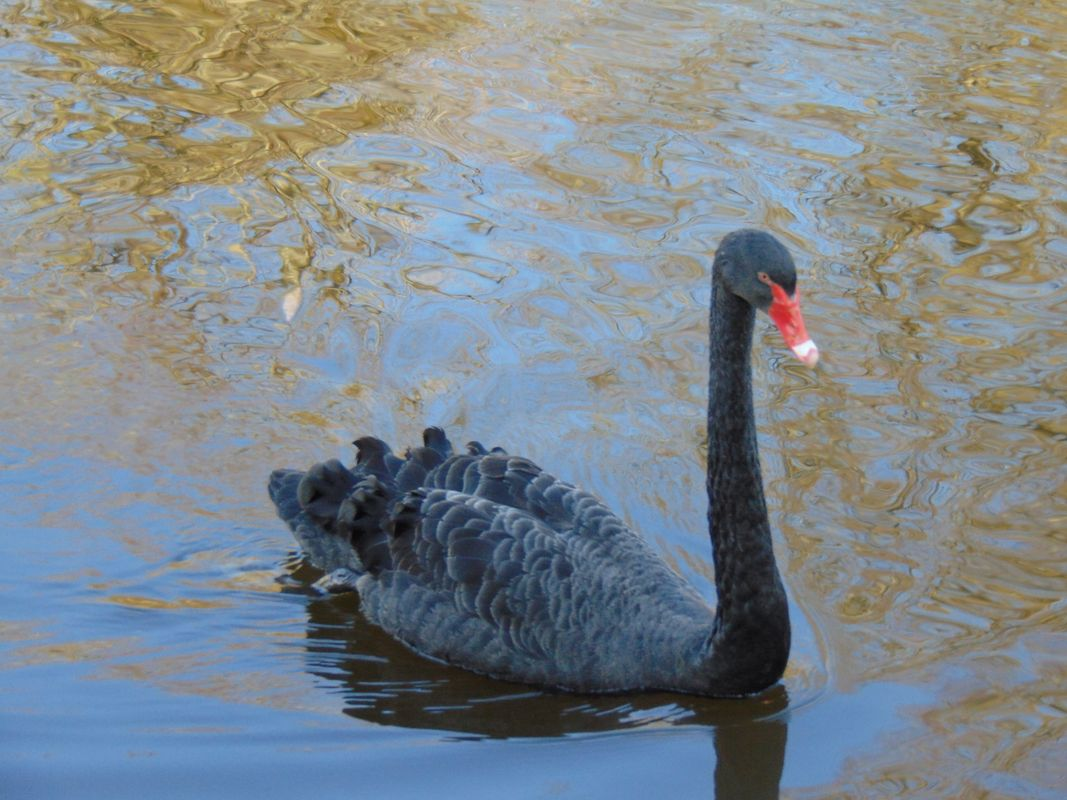 Black Swan with Red Beak Swimming in the Lake at Okfield Park Raphoe Donegal Ireland