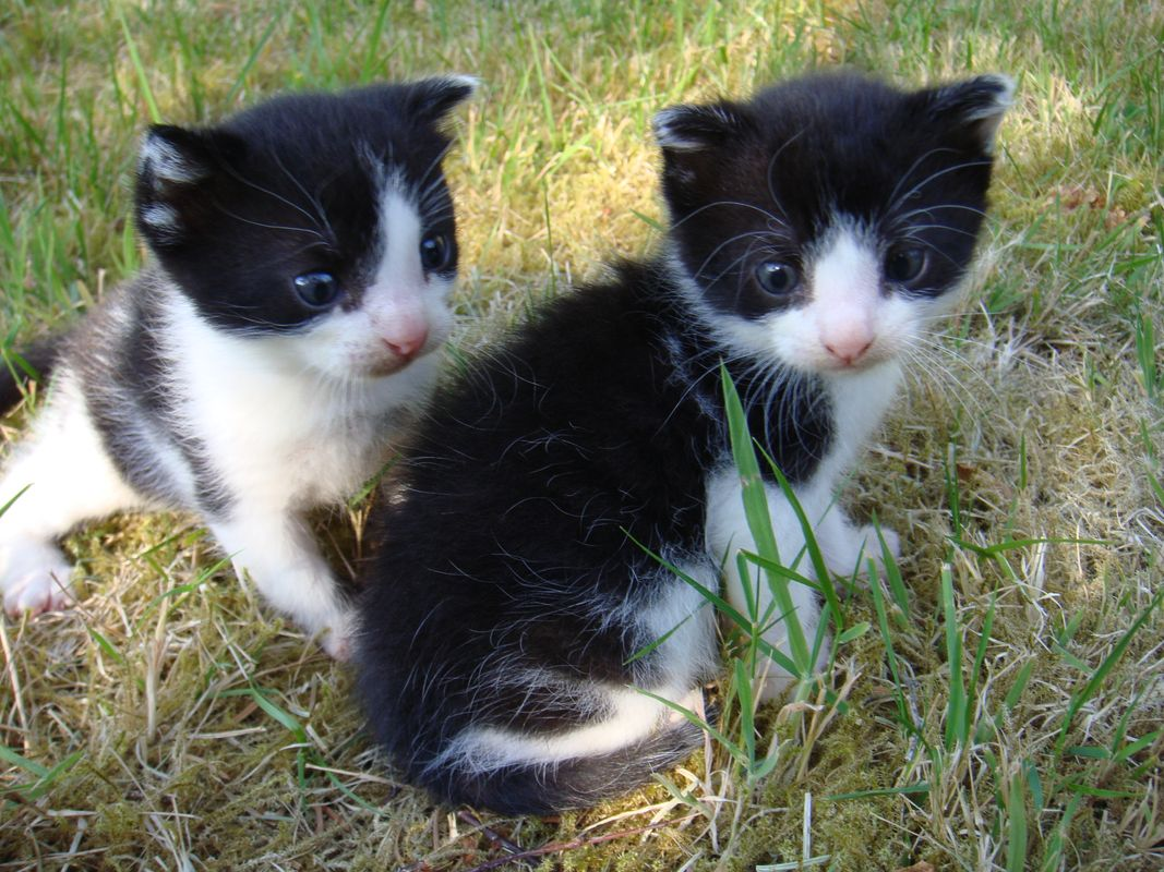 Two Black and White Kittens exploring the garden