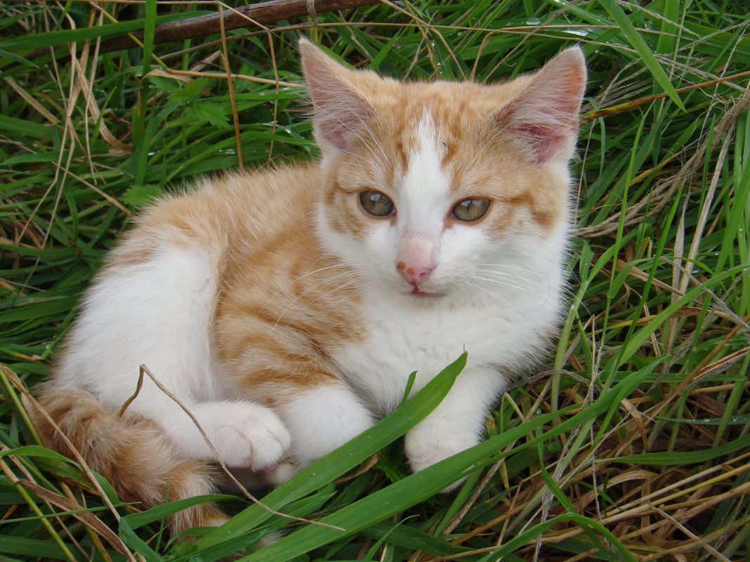 Ginger and White Kitten Male Cat Resting On the Green Grass