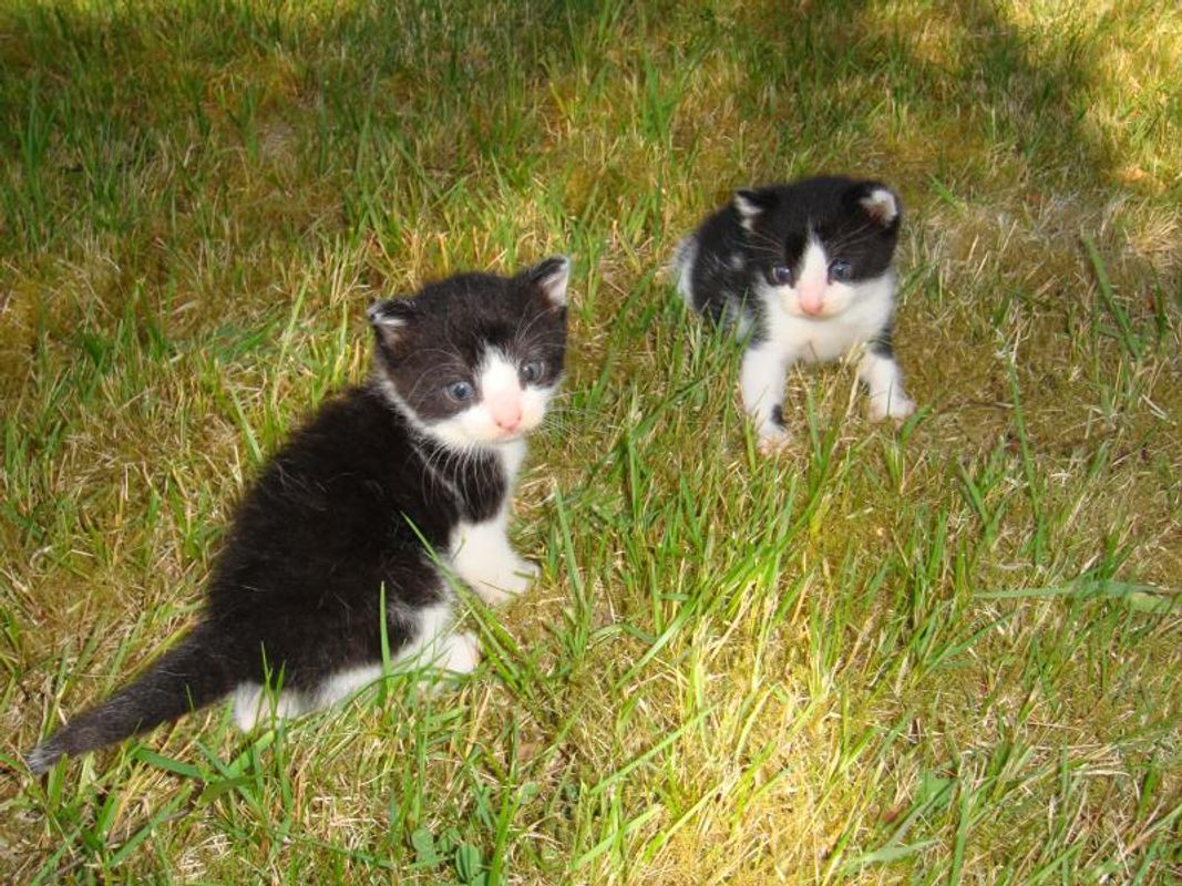 Two black and white kittens green grass facing each other