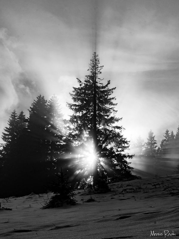 White rays