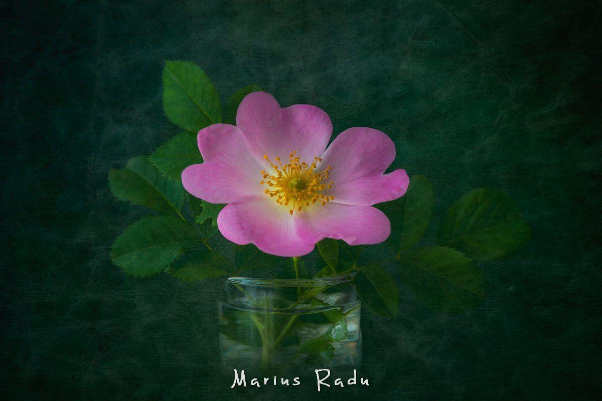 Dog-rose flower