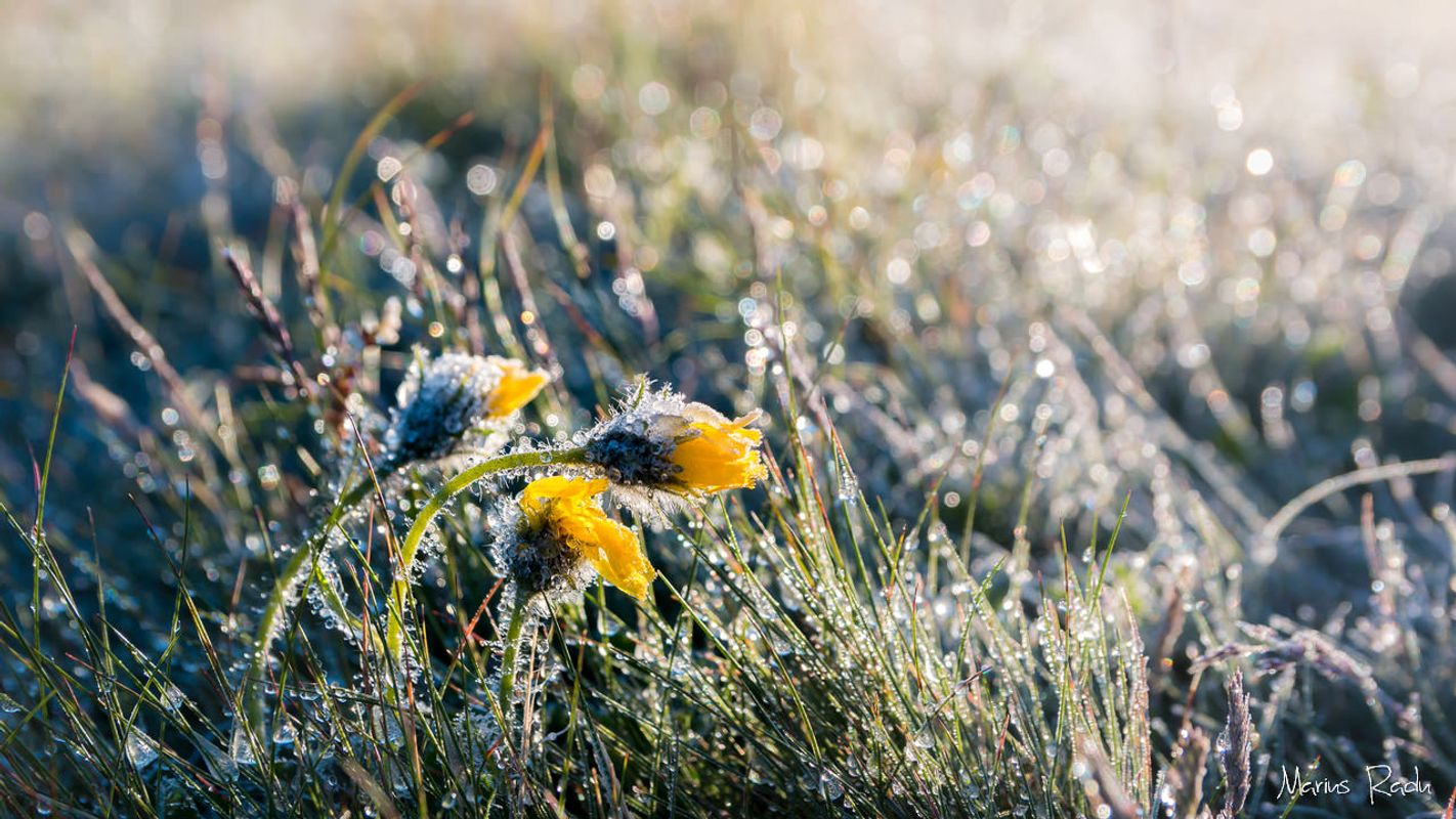 Yellow flower frost