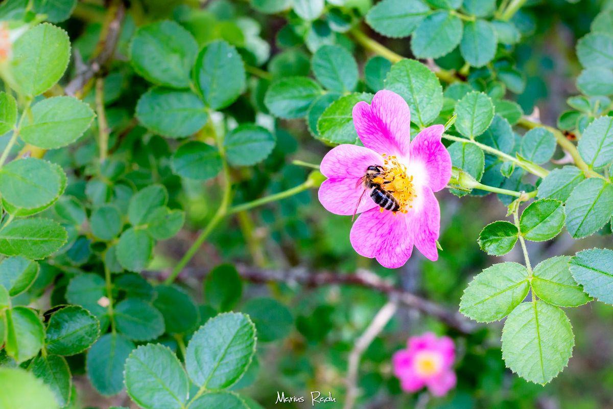 Dog rose Bee