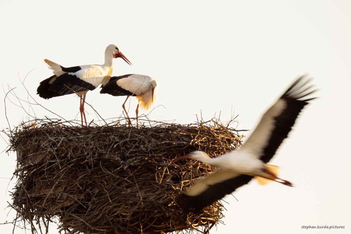 Storks defending their nest