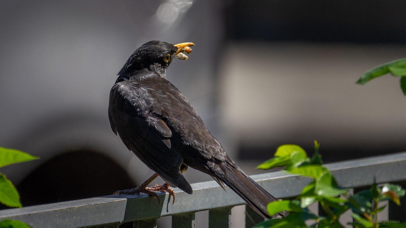 Blackbird posing