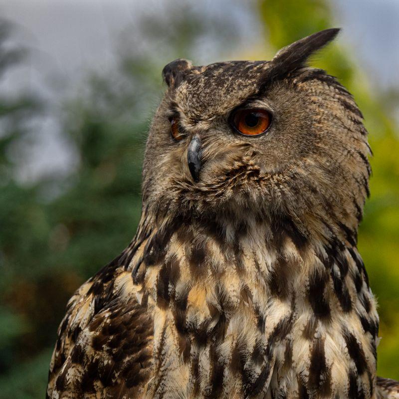 Owl headshot