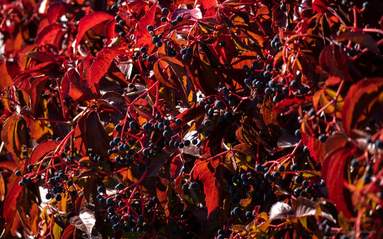 Red leaves with berries