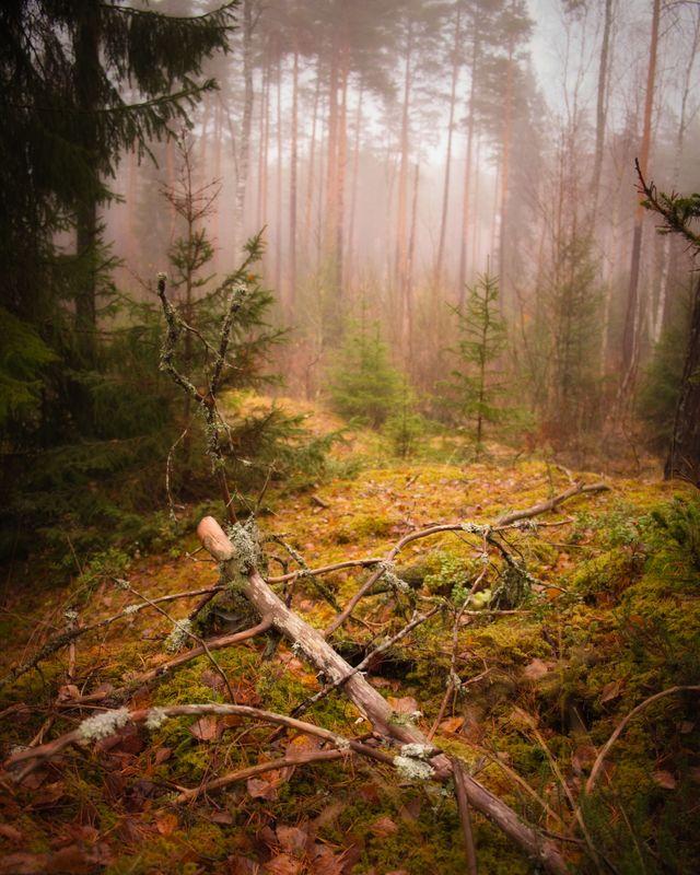 Misty woodland 1