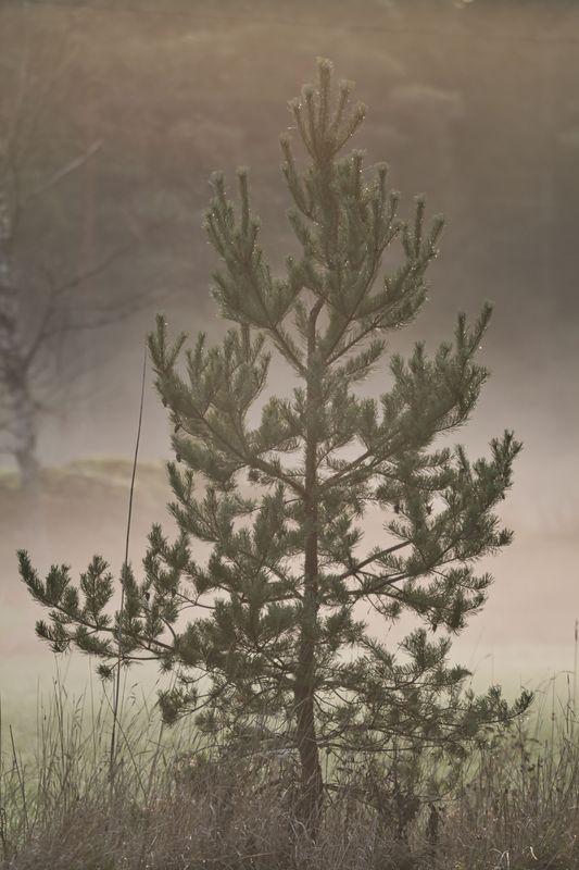Mistyfic pine