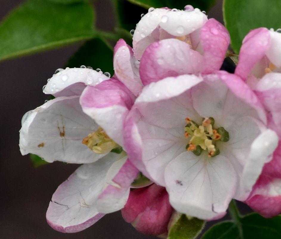 Apple blossom in gentle speing rain